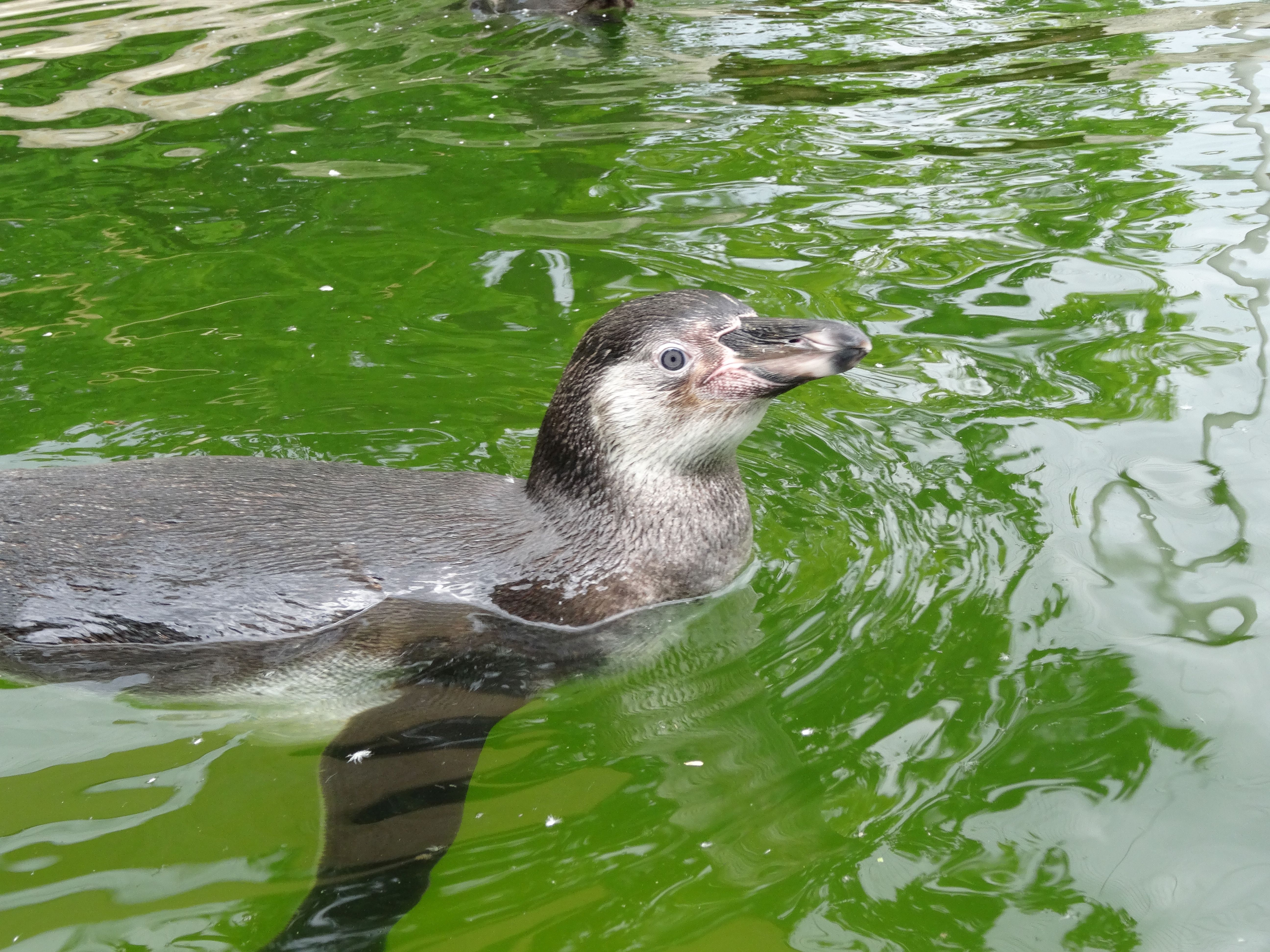 Pinguin  (2)
