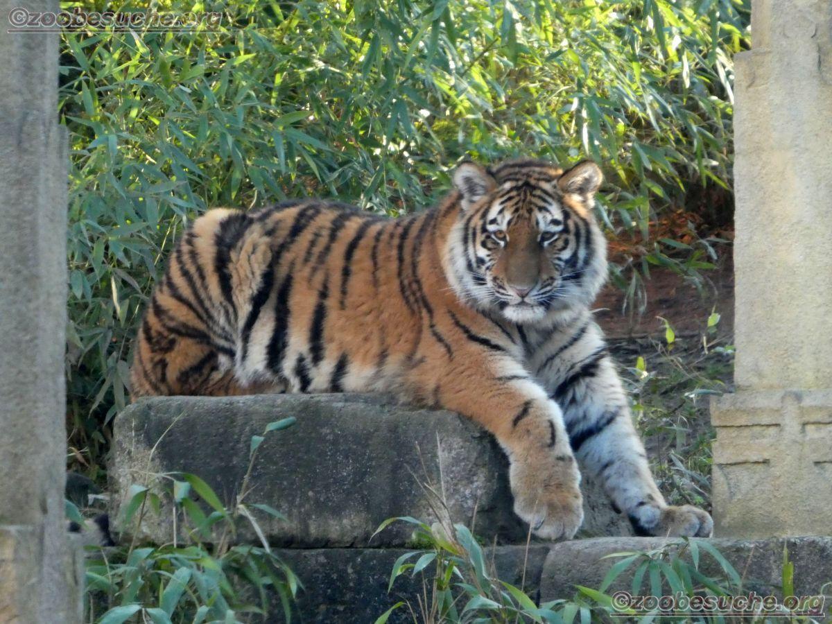 Tiger Jungtier