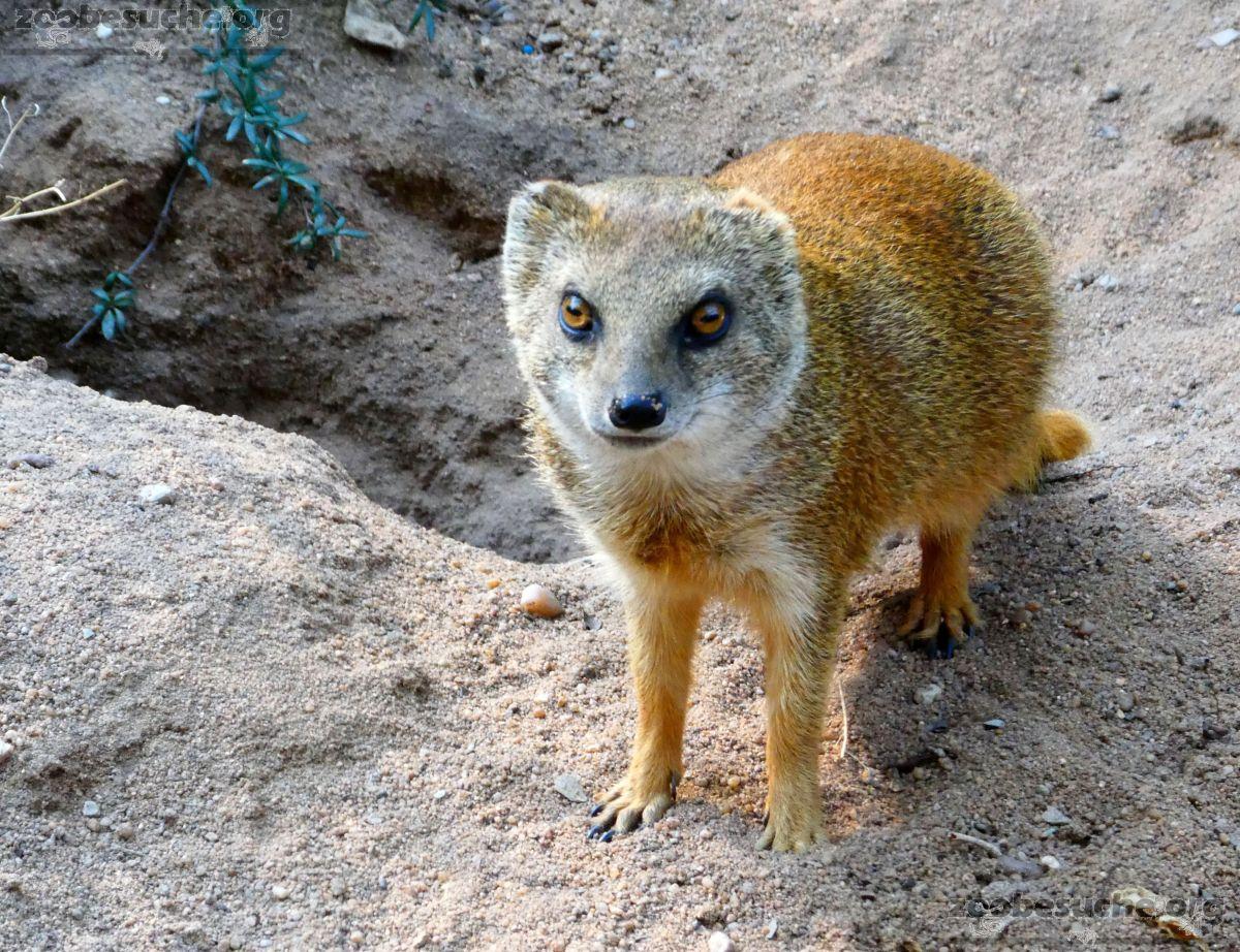 Fuchsmanguste  (2)