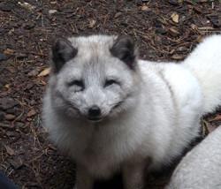 Polarfuchs  (14)