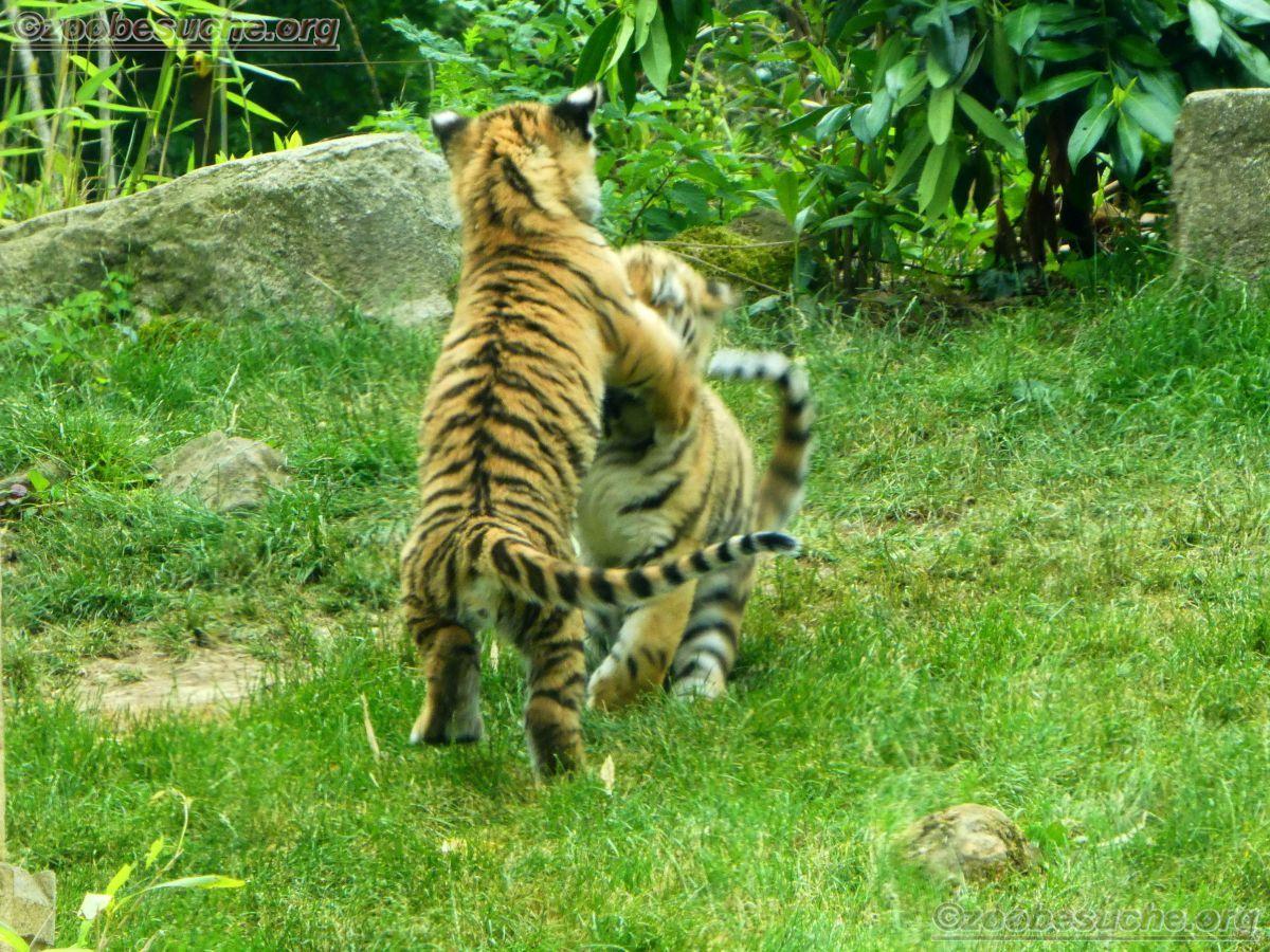 Tiger Jungtiere  (11)