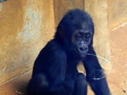 Gorilla Jungtier  (1)