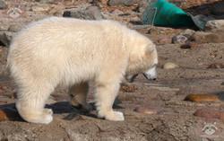 Eisbären  (7)