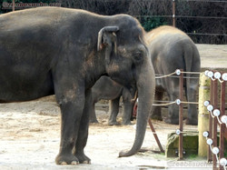 Elefantenkuh Indra  (1)