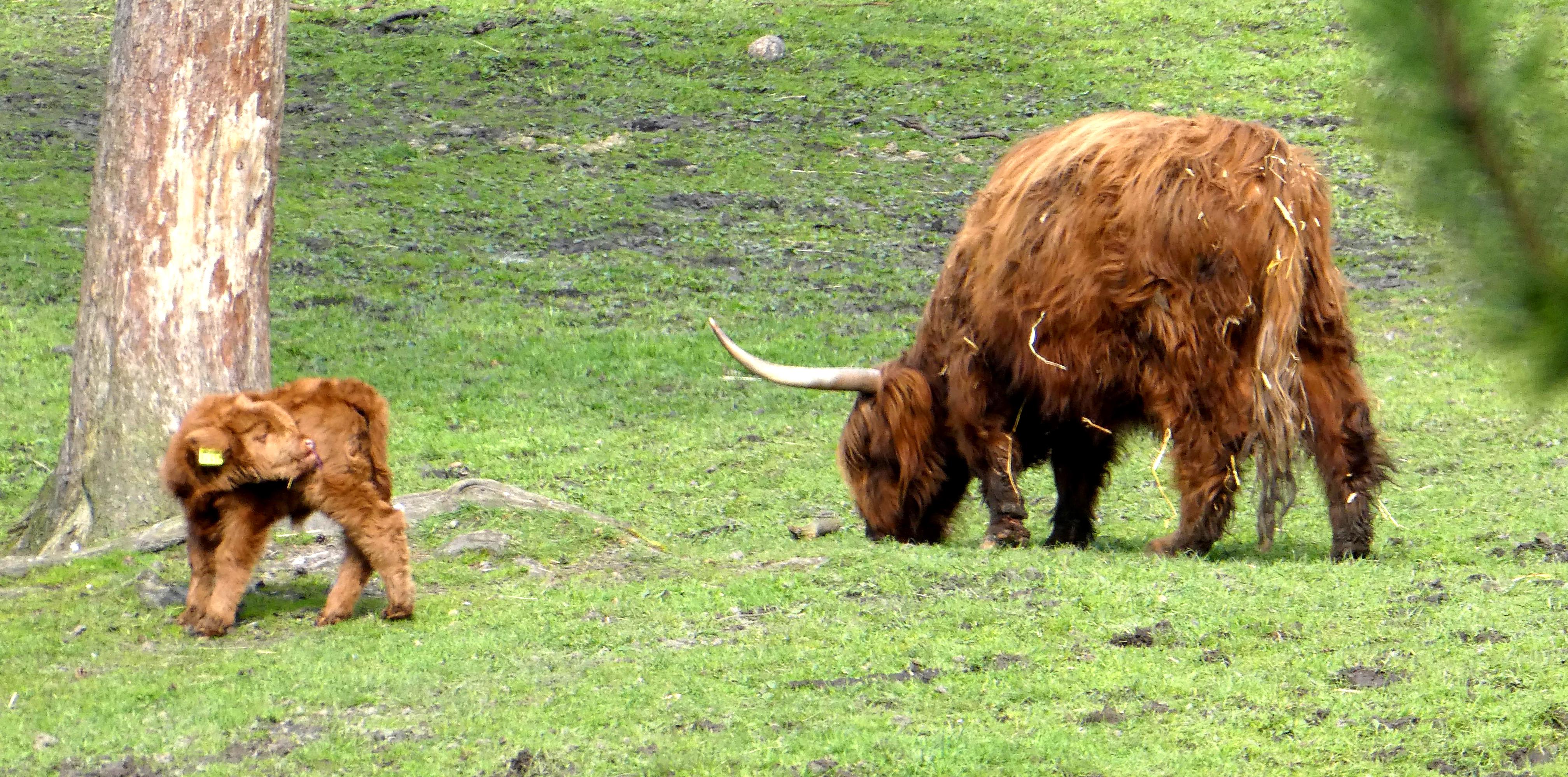 Schottisches Highland Rind  (2)