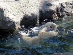 Eisbär  (43)