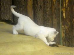 Weiße Löwen Jungtiere (26)