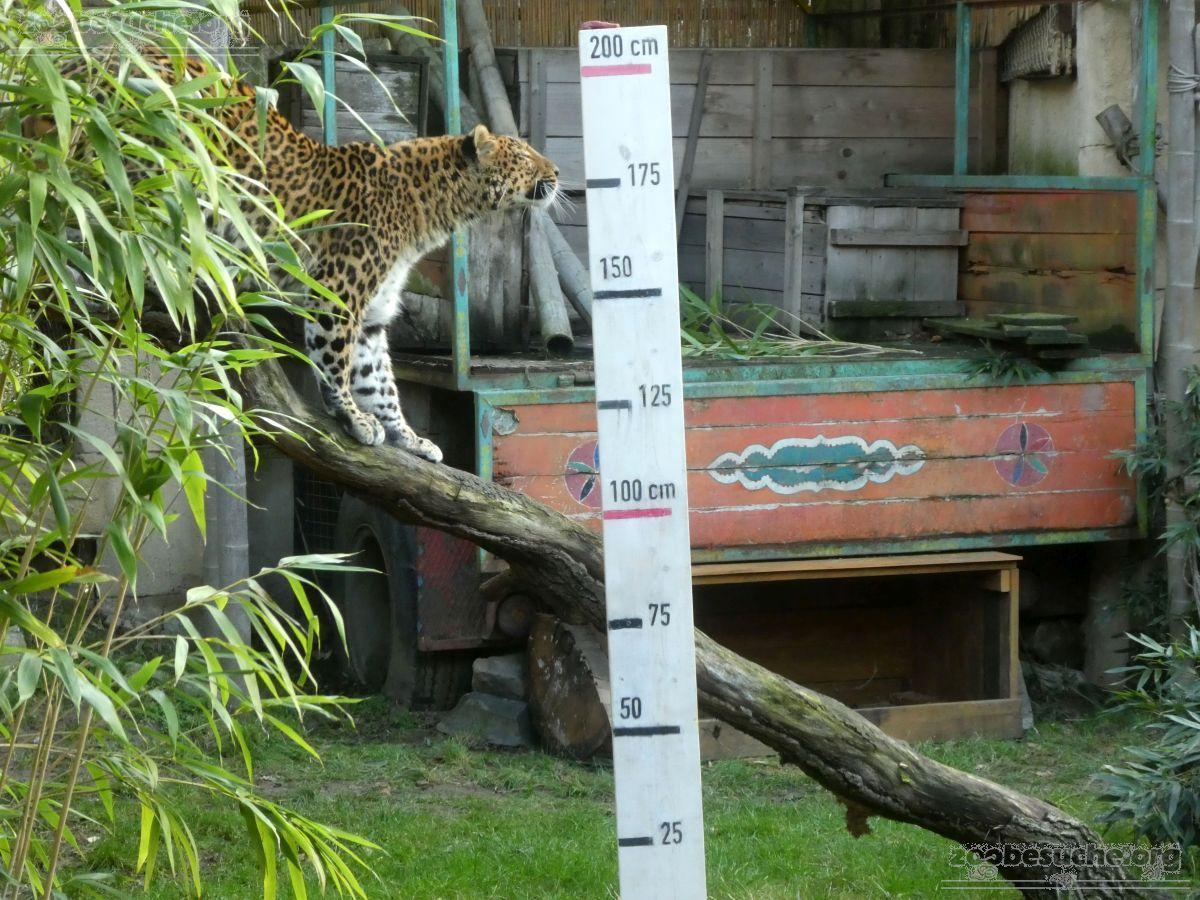 Leopard Julius  (16)