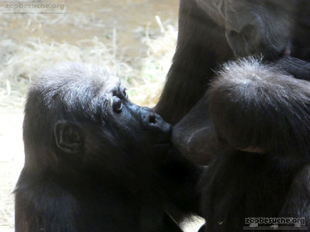 Gorilla  (12)