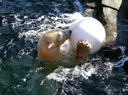 Eisbär  (34)