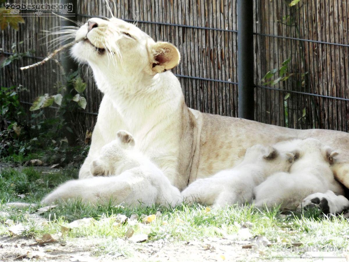Löwen  (42)