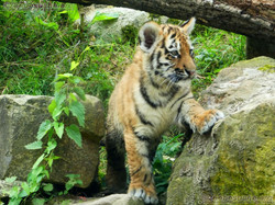 Tiger Jungtiere  (43)