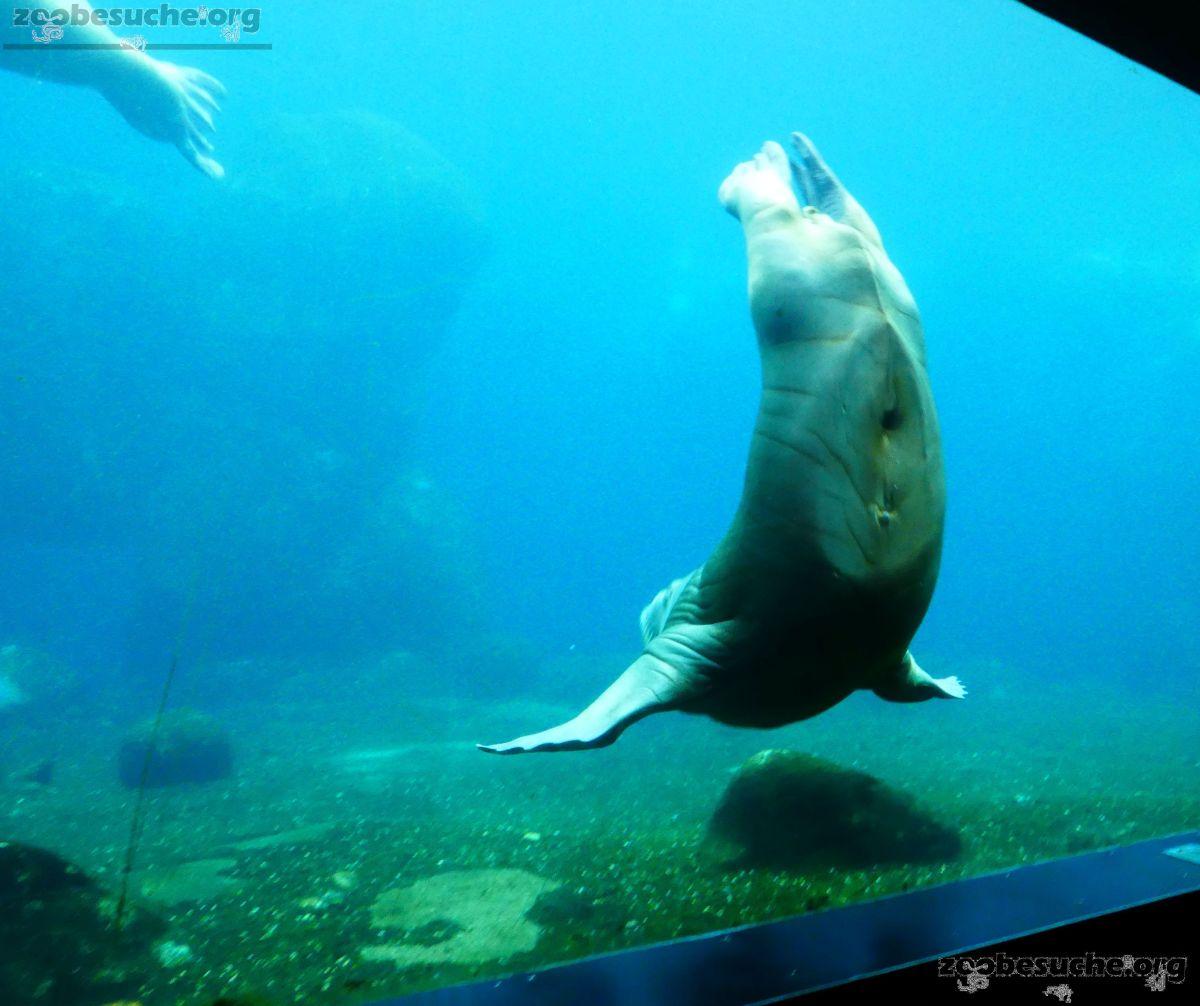 Pazifisches Walross  (6)