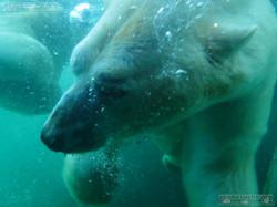 Eisbären_Milana_und_Sprinter__(12)