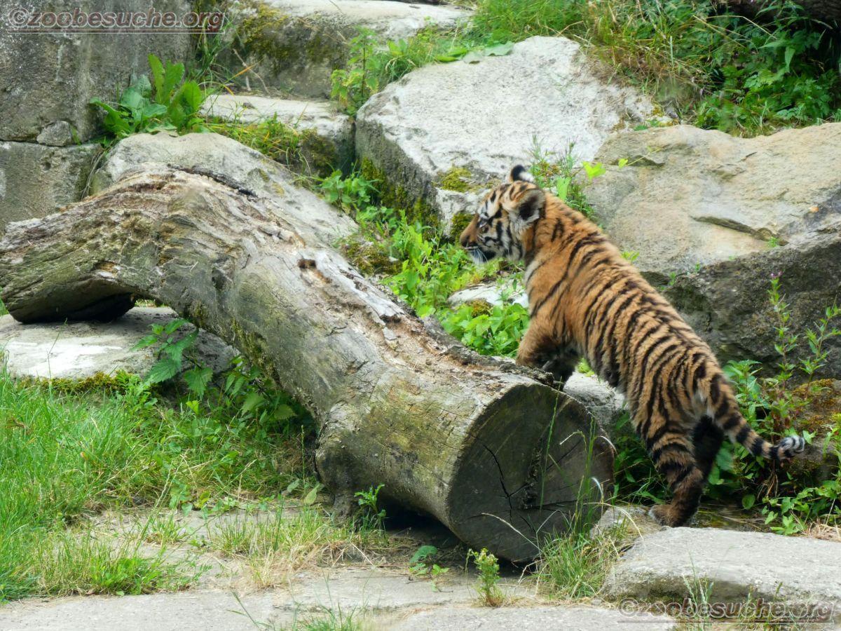 Tiger Jungtiere  (38)