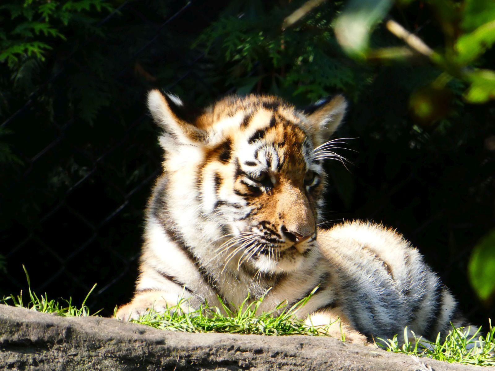 Tiger  (27)