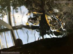 Scildkröte  (1)