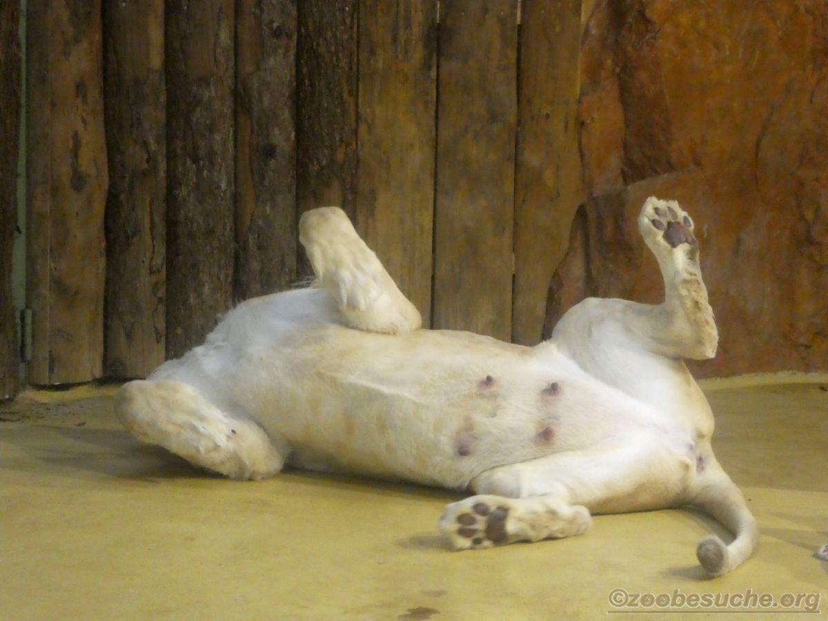 Weiße Löwin (1)