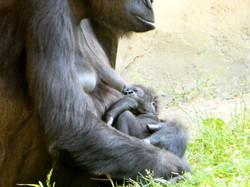 Gorilla  (20)