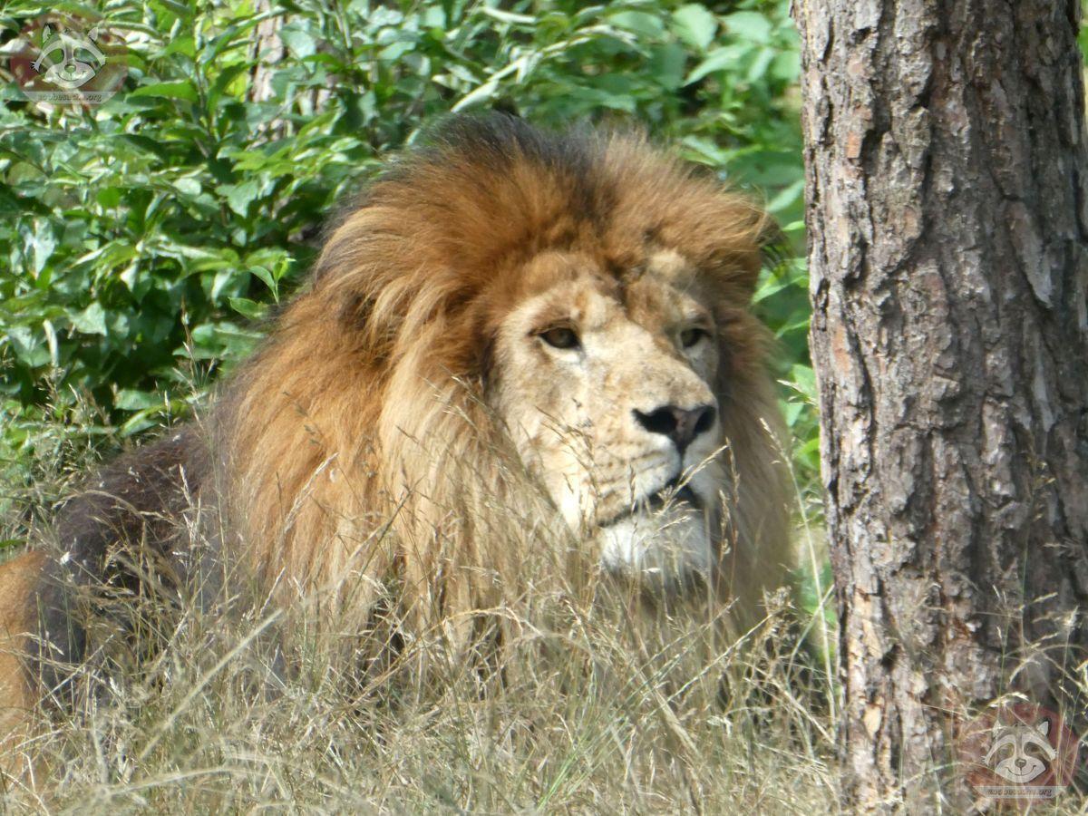 Löwen (9)