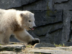 Eisbär  (78)