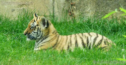 Tiger Jungtiere  (20)