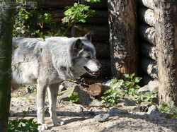 Timberwolf  (3)
