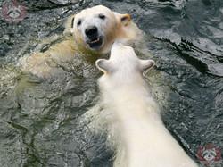Eisbären_Nana_und_Milana_(15)