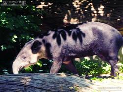 Mittelamerikanischer Tapir  (20)