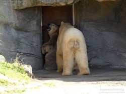 Eisbären_Milana_und_Sprinter_(5)