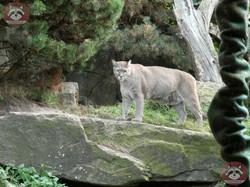Puma (19)