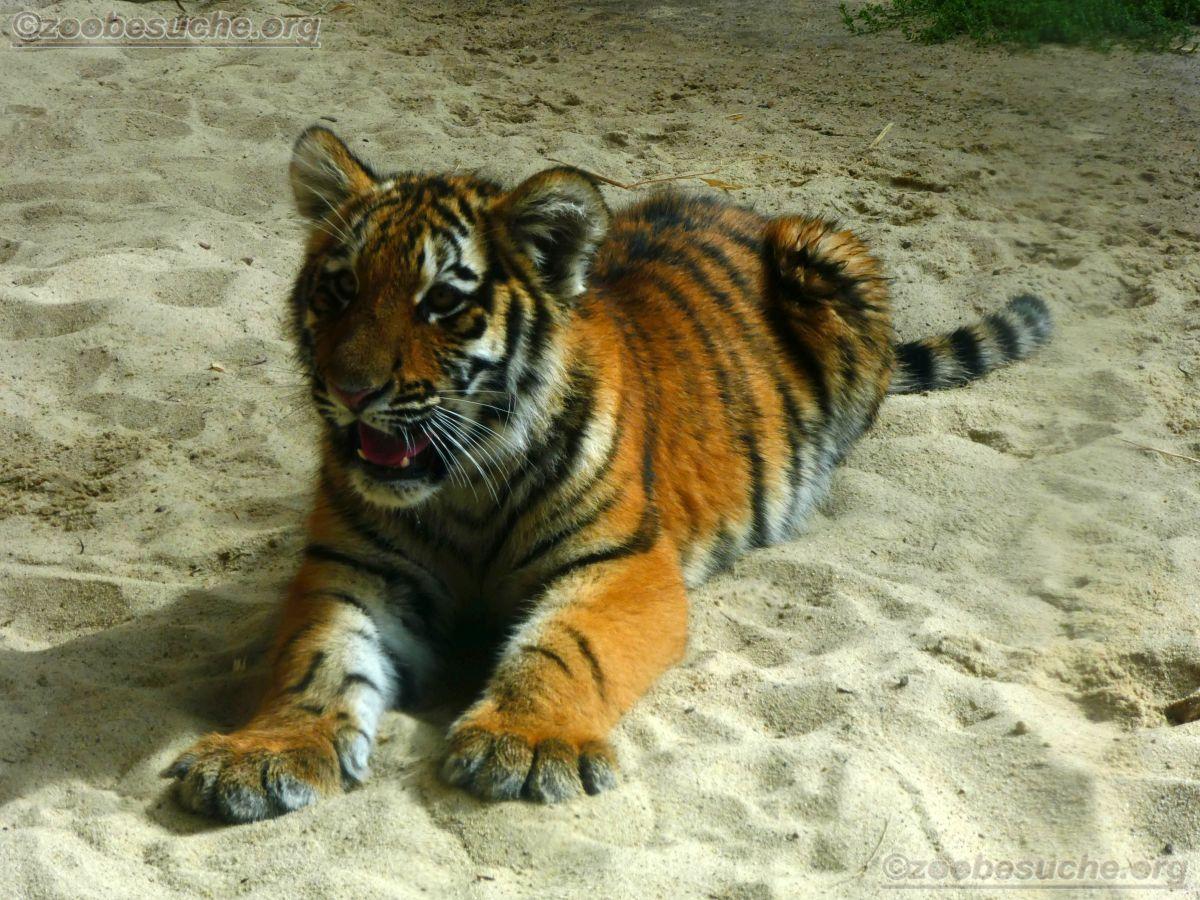 Tigerjungtiere  (16)