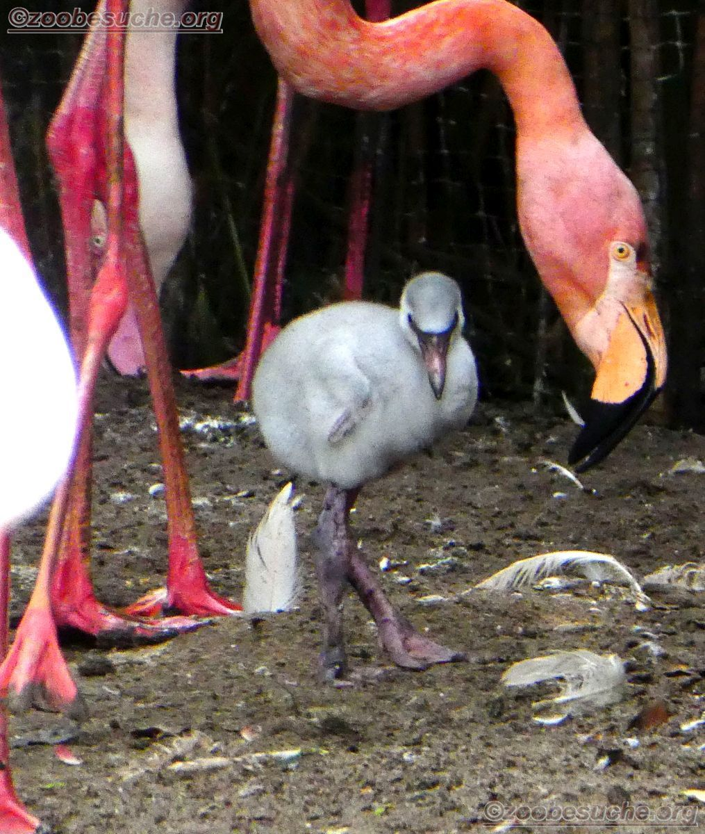 Flamingo  (6)