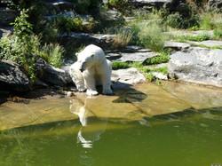 Eisbär  (121)