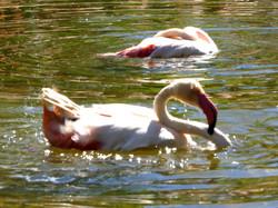 Flamingos  (2)