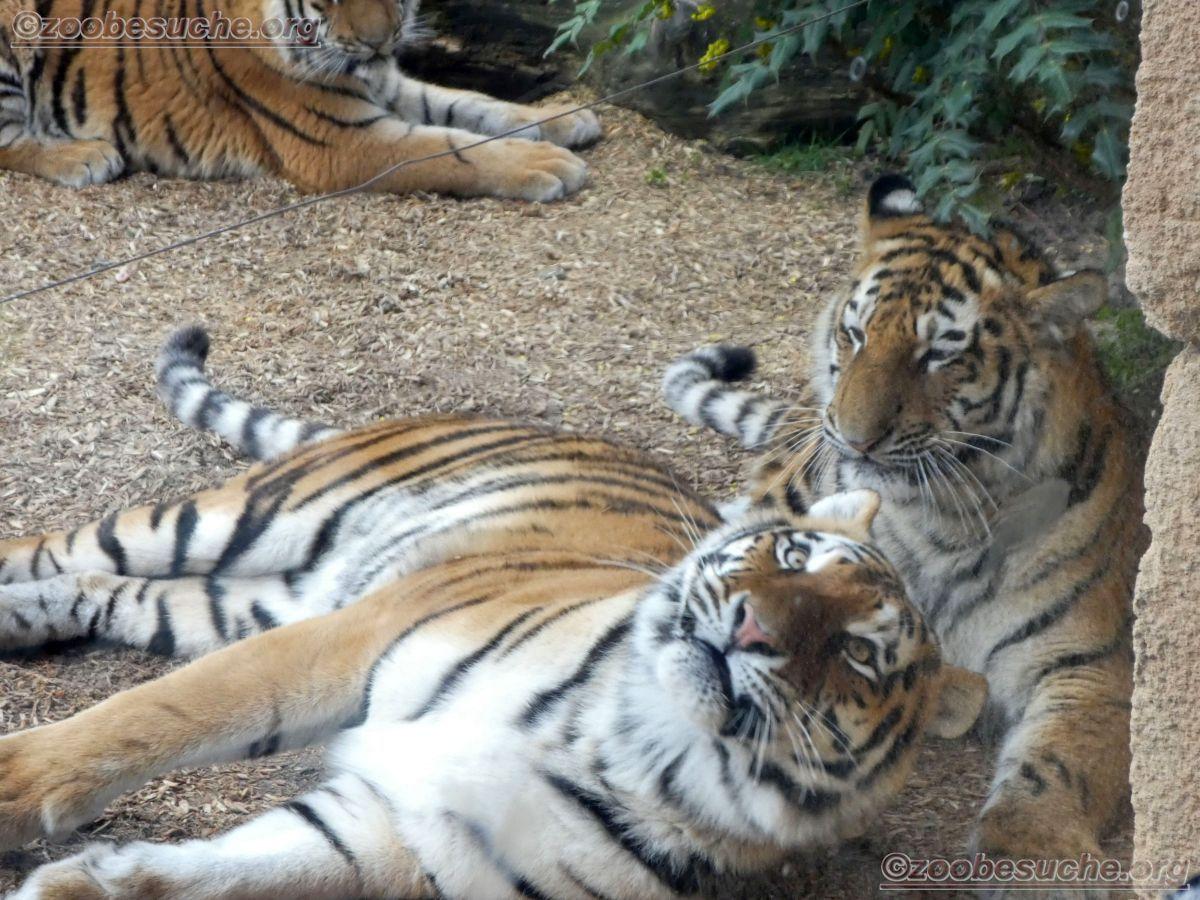 Tiger  (9)