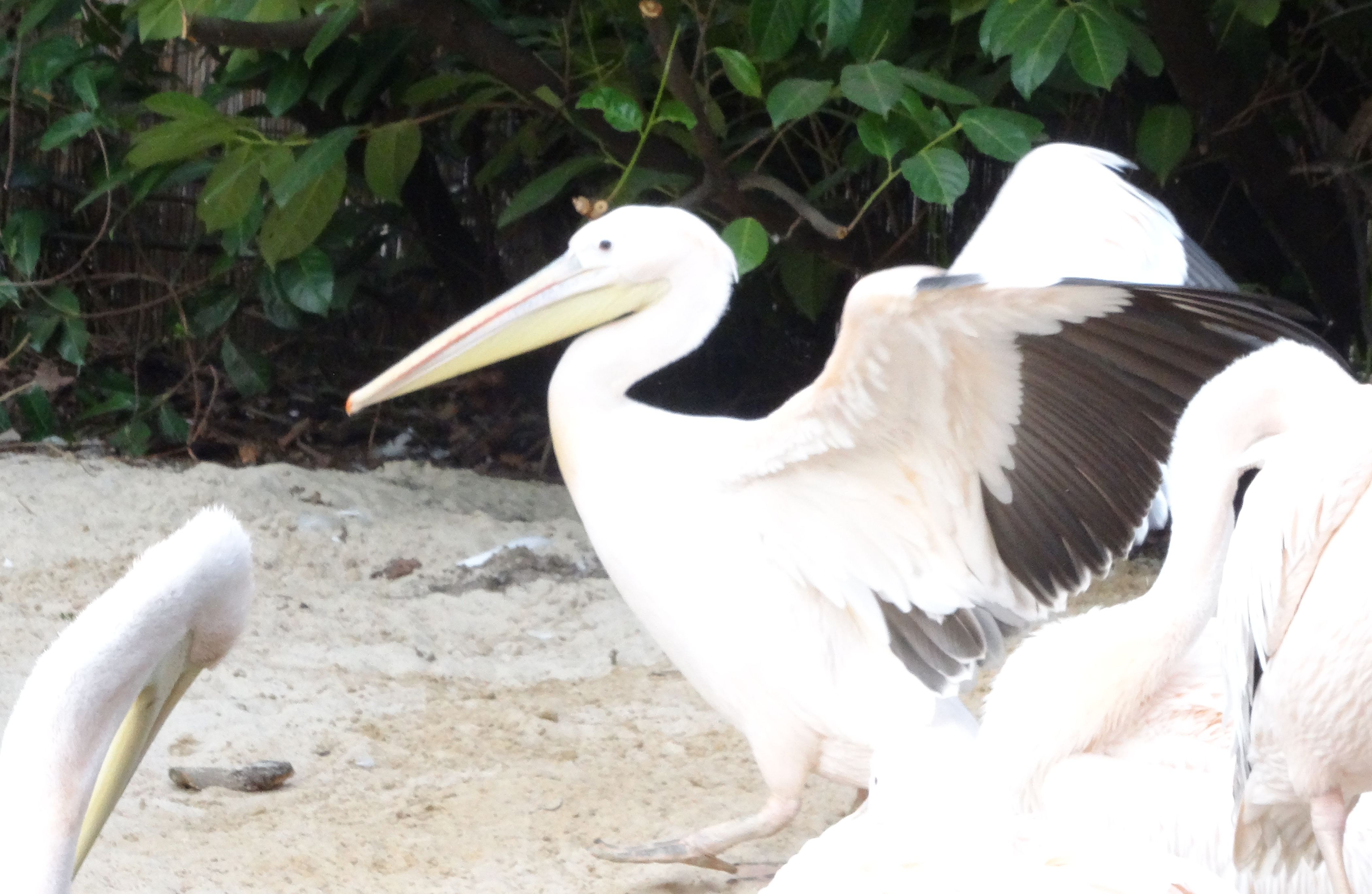 Pelikan  (4)