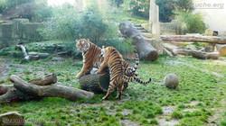 Tigerin Alexa mit Jungtier (9)