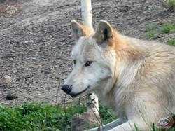 Timberwolf (11)