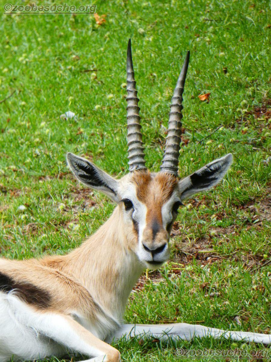 Thomsongazelle  (3)