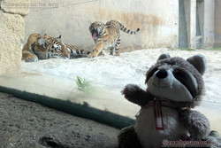 Tiger mit Wuschel (2)