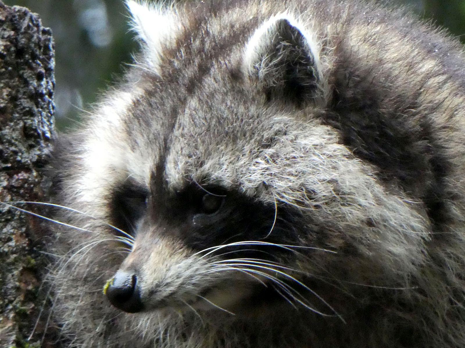 Waschbär  (21)