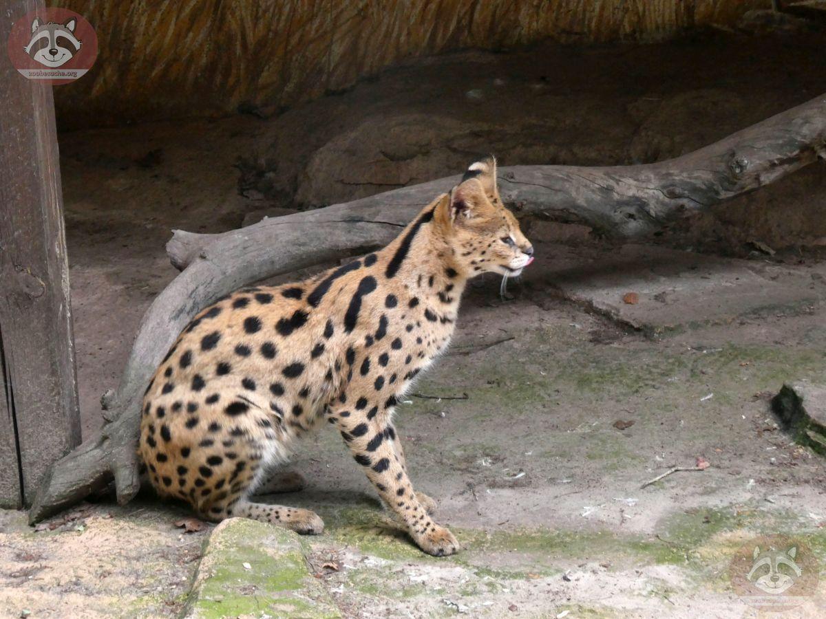 Serval Servus (4)