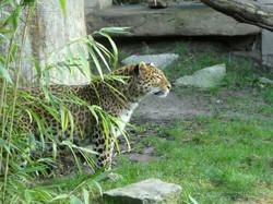 Leopard Julius  (36)
