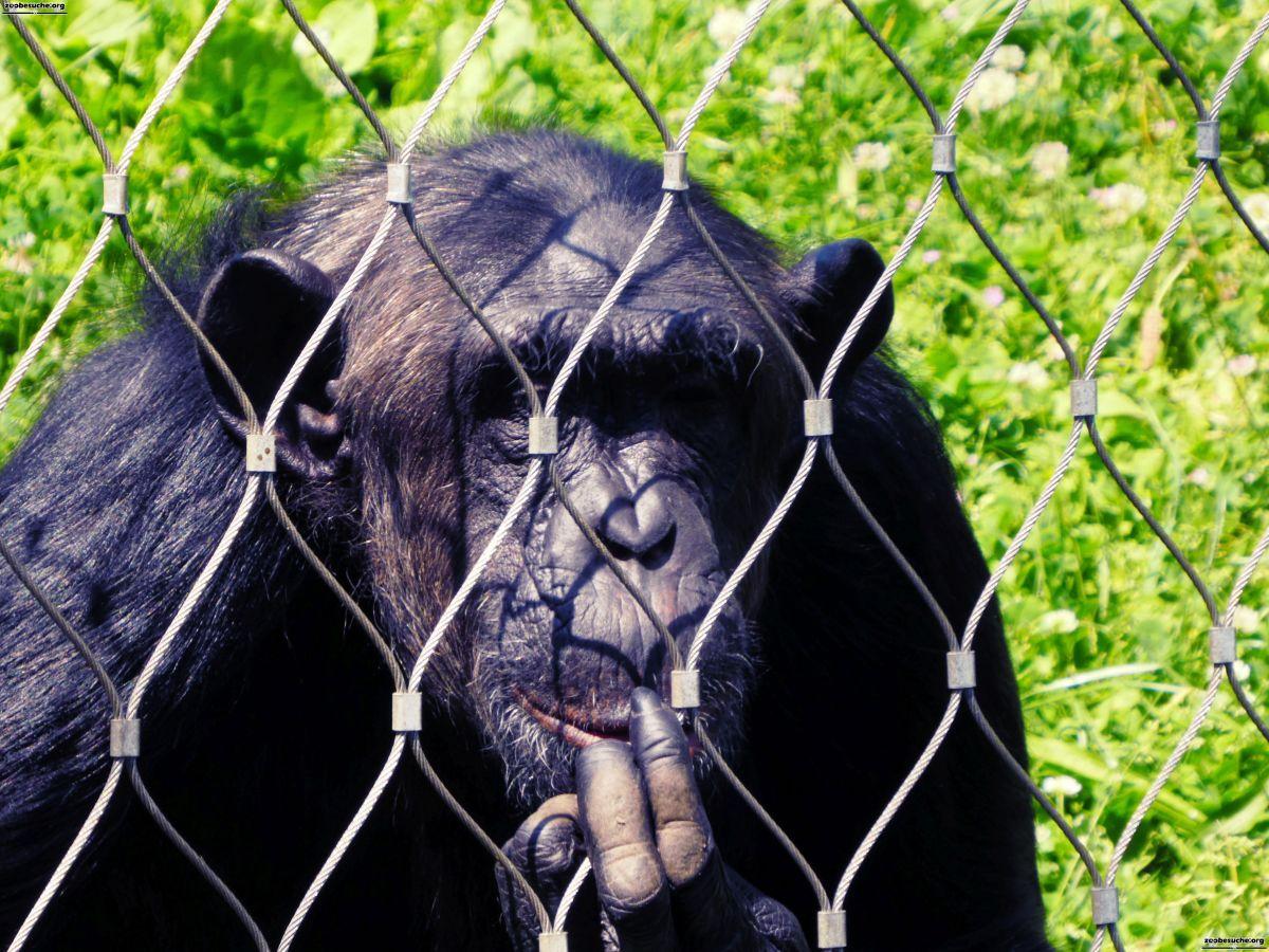 Schimpanse  (9)