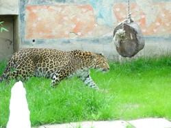 Leopard  (8)