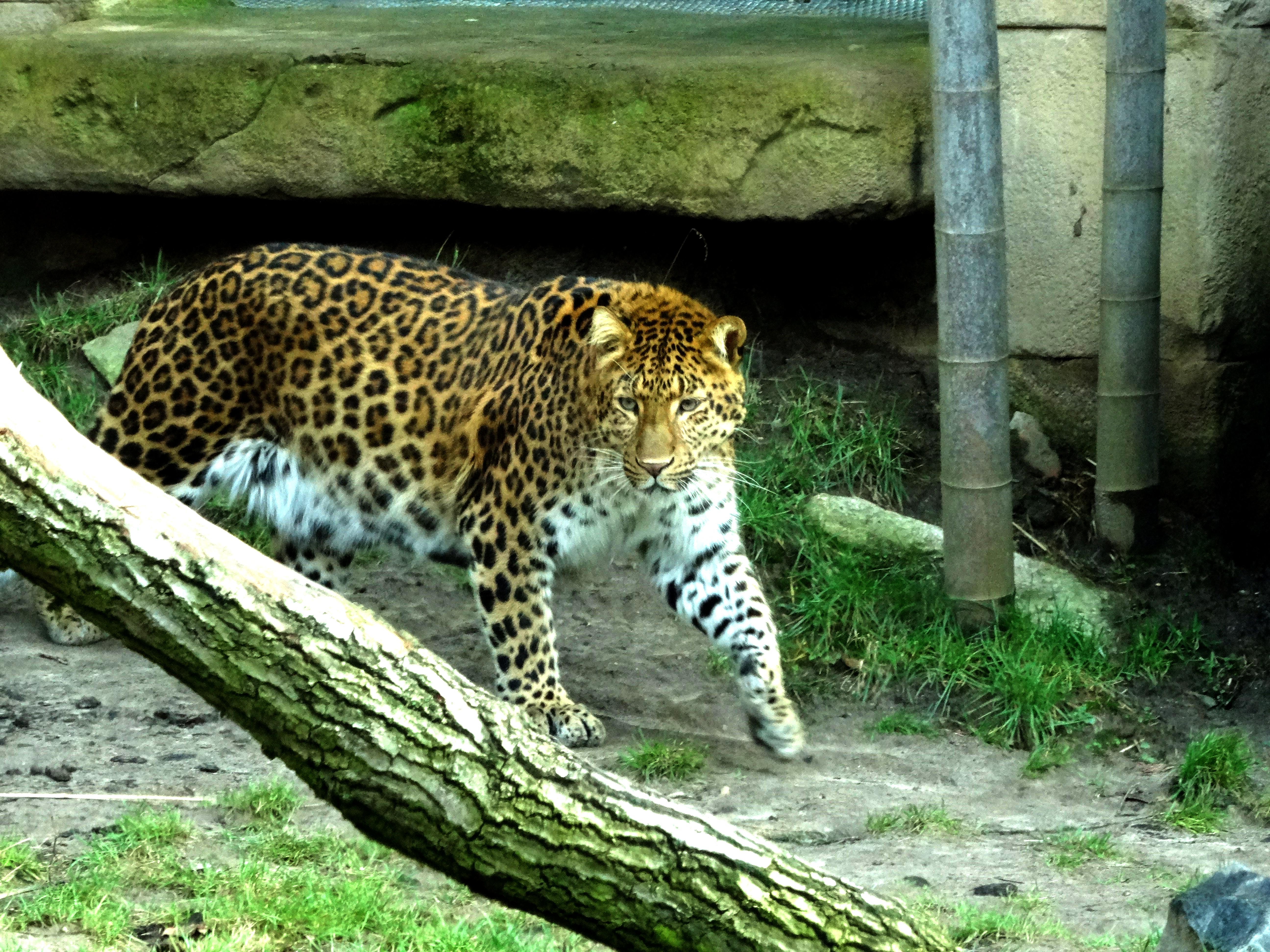 Leopard Julius