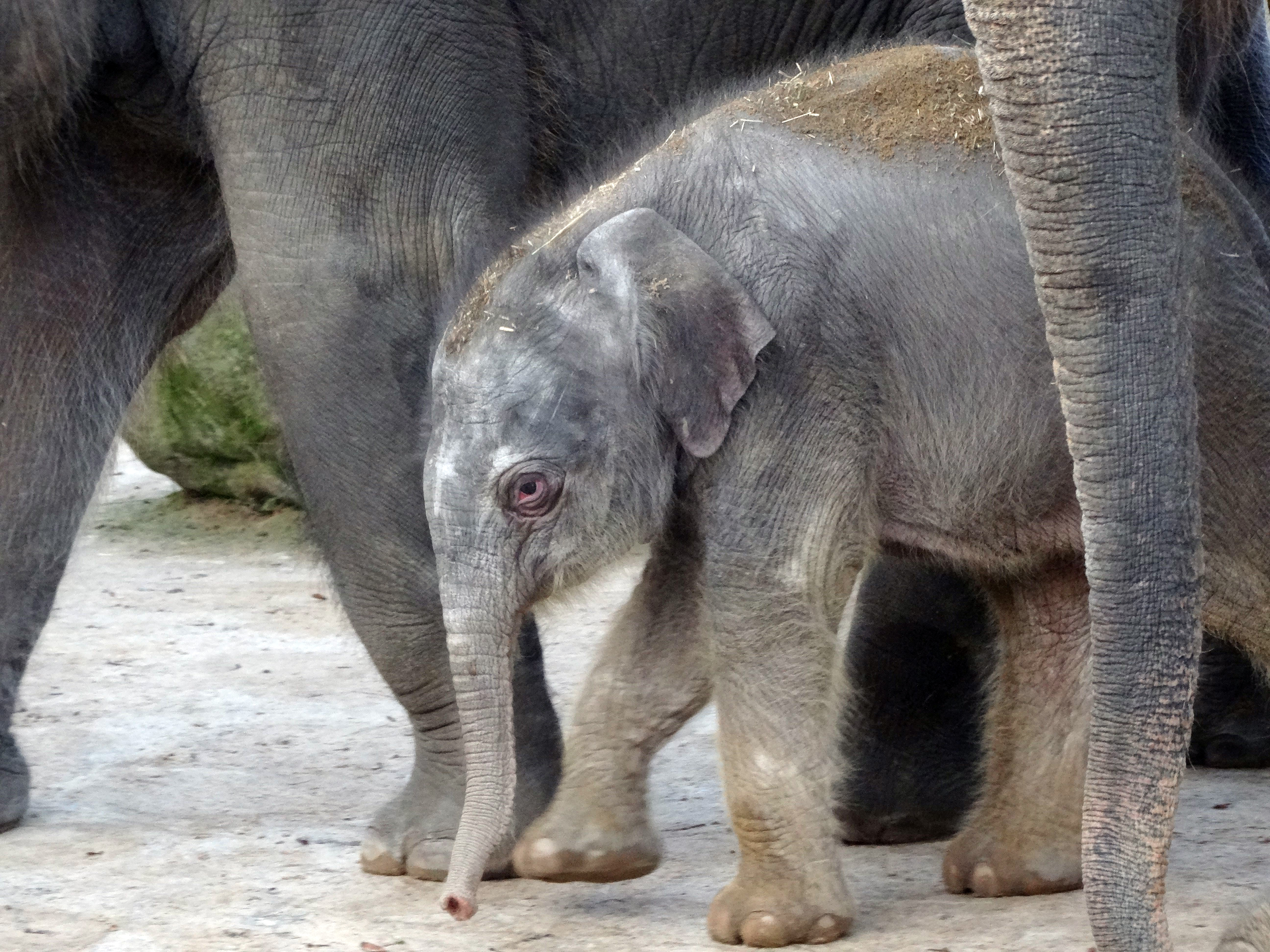 Elefanten Jungtier 2016