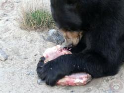 Schwarzbär (7)