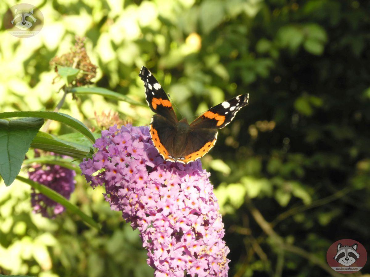 Schmetterling (3)